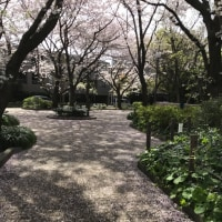 Coming to the office through on the Sakura carpets.  桜の落ち花の上を歩いて出勤。
