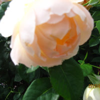 我が家のバラも咲き始めました。