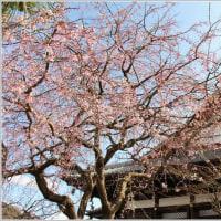 本覚寺のしだれ桜