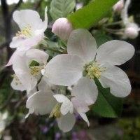 庭の花 リンゴの花も咲いたよ 170429