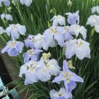 ⁂雨もひどくなくて~お庭にありがとうと雨振りました~~