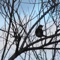 大きなスズメのように見える鳥 ツグミ