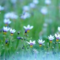 庭石菖 (花 4426)