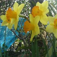 今年も咲きました 庭の水仙