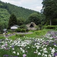 千古の家の花菖蒲
