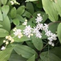 またまた白い花