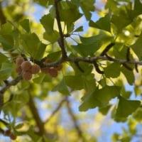 イチョウの木に