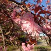 ギョイコウ(御衣黄)桜