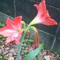 また咲いたアマリリスだけど