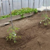 アイコトマト  雑草抜き