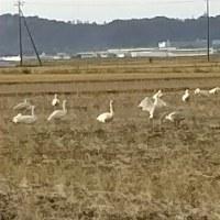 白鳥飛来🎵