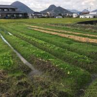 こちらは手前からほうれん草、白菜、大根、玉ねぎ、にんにくを植えています。