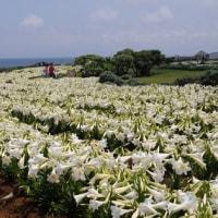 ゴールデンウイークを彩る「伊江島ユリ祭り」