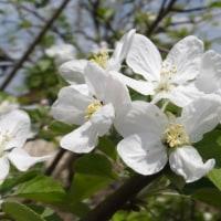 岡山のリンゴの花