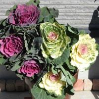 きょうの薔薇1203と葉牡丹