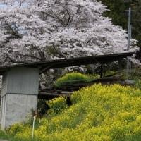 桃も桜も、水仙も咲いた、咲いた 桃源郷。
