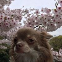桜満開 by おとん
