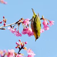 今治市の「のまうまハイランド」の河津桜が満開に近くなっています (その2)