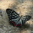 厄介な生物「アカボシゴマダラ」