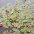 安田城跡の蓮池