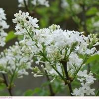 ライラック 白い花