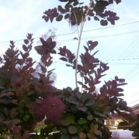 バレリーナとスモークツリー