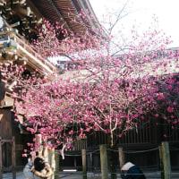 2017年2月28日:〈津屋崎の四季〉1173:「寒緋桜」満開そろい踏み
