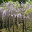春日大社の藤園