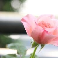 16番目の開花「Jb2008」とペペロミアカペラータ