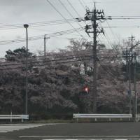 堀松の桜は、ピンク色
