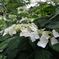 6月22日(木) 雨上がりの庭