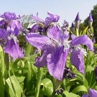 季節の花「一初 (いちはつ)」