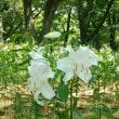 村上緑地公園のゆり、我が家の花   (7.11)