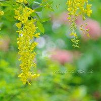 キングサリ:京都府立植物園