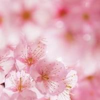 早咲き桜 満開