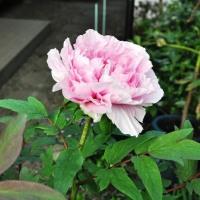 牡丹の開花 2017.4.24.(月)