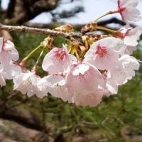 奈良の標本木が変わったので、開花が早まるかなあ?・・(^_^;)