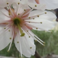 サクランボの花と麦の穂。   17・3月23日