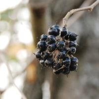 樹木ウォッチング冬から夏へ145エゾウコギ2