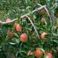 りんご三兄弟。
