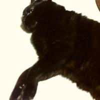 モコモコ妹猫