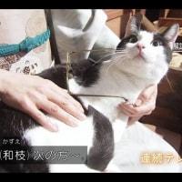 「ごちそうさん」の猫 再登場