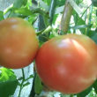 トマトが赤くなってきました~