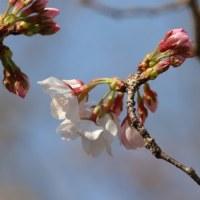 桜はもうすぐ満開