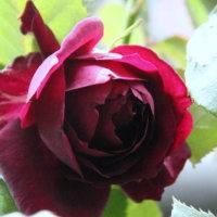 今日から薔薇の開花ー真夜ーとシャンティーのこと