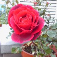 薔薇と経験
