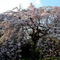 小石川後楽園の しだれ桜・・3