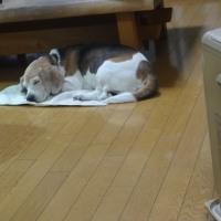 ビーグル犬のラグ