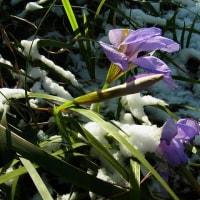 カンザキアヤメ:寒咲菖蒲 (名の通り雪に咲いて)