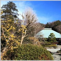 浄妙寺の梅にメジロ